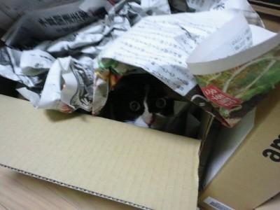 実家から送られてきた荷物が入っていたダンボールと新聞紙に潜り込むソノラ。