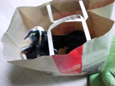 マクドナルドの手提げ紙袋に入るソノラ。嫌がるかと思ったけど結構喜んでた。